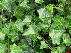 Murgröna, Hedera helix, sorten 'Huldra' E är frisk, härdig och anspråkslös. Perfekt som marktäckare, relativt stora blad. Föredrar djup, fuktig, kalkrik jord i halvskuggigt-skuggigt läge. Zon 4-5.