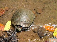 Panama - Panama City - Parque Natural Metropolitano - Turtle