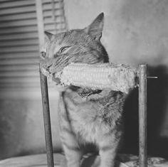 Allan Grant, Cat Eats Corn, June 1951
