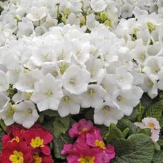 Charming Buy Campanula White Clips Perennial Plants Online. Garden Crossings Online  Garden Center Offers A Large