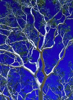 Ghost Gum Tree beautiful branches of grey white against strong blue sky! Weird Trees, Enchanted Tree, Picture Tree, Eucalyptus Tree, Weird Shapes, Tree Forest, Native Plants, Tree Art, Nature Pictures