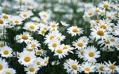 Daisy - innocence and hope.