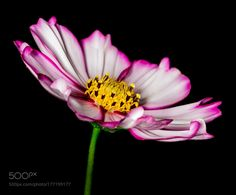 daisy in pink and white by pinarelloherbert