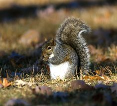 """Fun game/activity for kids on day hike: Squirrel Count. Read about more tried and true diversions for day hiking with children in """"Hikes with Tykes: Game and Activities. Eastern Gray Squirrel, Hiking With Kids, Hiking Tips, Day Hike, Mammals, Habitats, Activities For Kids, Wildlife, Grey"""