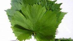 Yaprak Konservesi Nasıl Yapılır | Kendi Mutfağında Şef Parsley, Celery, Herbs, Vegetables, Food, Recipes, Meal, Eten, Herb