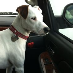 """My Jack Russell """"Jack"""""""