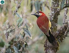 https://www.facebook.com/WonderBirdSpecies/ Crimson-mantled woodpecker (Colaptes rivolii); South America: Bolivia, Colombia, Ecuador, Peru, and Venezuela; IUCN Red List of Threatened Species 3.1 : Least Concern (LC)(Loài ít quan tâm) || Gõ kiến áo choàng đỏ; Nam Mỹ: Bolivia, Colombia, Ecuador, Peru và Venezuela; Họ Gõ kiến-Picidae (Woopecker).