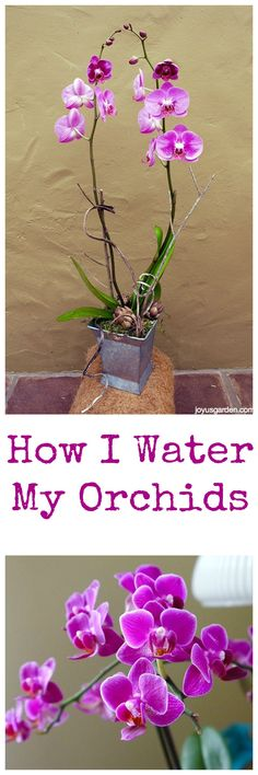 Phalaenopsis Orchids make great houseplants. Here's how I water mine.