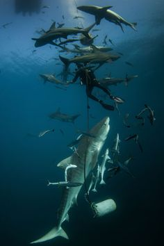 sharks swarm around diver. I'd be walking on water for sure!!
