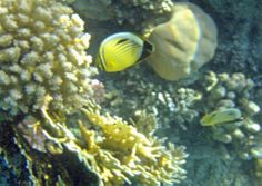 The Blacktailed Butterfly fish is very beautiful. Here I got 2 in the same photo.  Port Ghalib, Egypt.