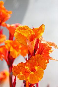 Love Orange Cannas!!