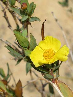 California native plants - Tree Poppy - Dendromecon rigida