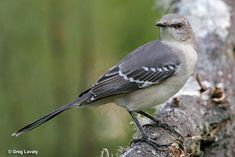 Gatlinburg is a haven for bird-watchers. The Northern Mockingbird is an exquisite specimen, and one of thousands you'll find in the trees around your Gatlinburg vacation rental home.