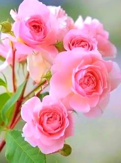 Minhas rosas My site is part of Flowers [ad Minhas rosas - Beautiful Flowers Wallpapers, Beautiful Rose Flowers, Exotic Flowers, Amazing Flowers, Pretty Flowers, Pink Rose Flower, Pink Roses, Pink Flowers, Flower Images