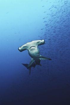 Hammerhead Sharks...not the Corpus Christi Indoor Football type!