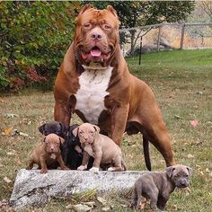 Amstaff Terrier, Pitbull Terrier, Dogs Pitbull, Baby Animals, Funny Animals, Cute Animals, Huge Dogs, I Love Dogs, Dog Suit