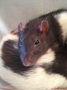 My rats: sleepy Blinkin