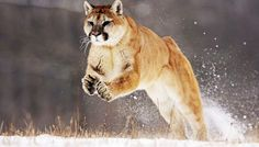 The cougar is a large feline species whose native home is the Americas. It's also known as puma, mountain lion, catamount or panther. This wild cat largely Lion Pictures, Animal Pictures, Wallpaper 1920x1200, Retina Wallpaper, Wallpapers, Lion Tigre, Os X Mountain Lion, Mountain Pics, Mountain Lion