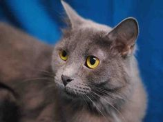 Meet ARIEL, a Petfinder adoptable Domestic Long Hair Cat | Fort Collins, CO | Petfinder.com is the world's largest database of adoptable pets and pet care information....
