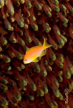 Baby fish with an orange Chromis? By Robert Koslawsky