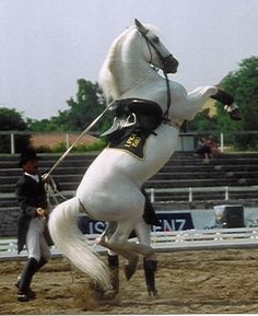 Lipizzaner airs above the ground: Courbette