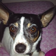 My toy fox terrier, my baby, Moo :-)