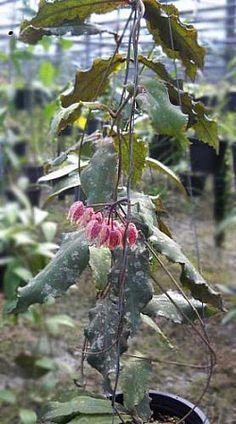 Hoya undulata from Sarawak/Borneo