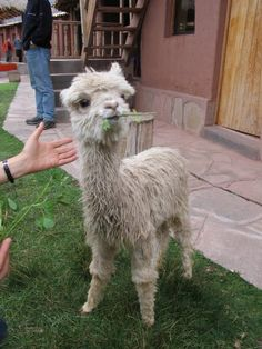I just learned the difference between a llama and an alpaca. There is a difference, apparently.