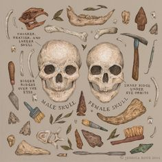 "jessicaroux:  ""Illustrations for Aquila Magazine, for their October issue, Bones. The article focused on osteoarchaeology, so the main image shows some different archaeological tools, findings, and shows the differences between a typical male skull..."