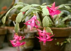 Planting your Christmas Cactus in the correct type of potting soil will help the plant remain healthy and will ensure a good bloom in the. Cactus Care, Cactus Flower, Flower Pots, Flower Bookey, Flower Film, Flower Band, Cacti And Succulents, Planting Succulents, Cactus Plants
