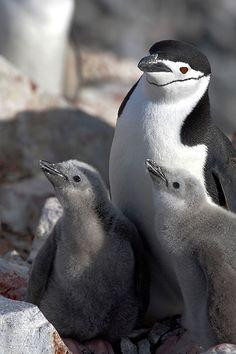 Pygoscelis antarctica / Pingüino Barbijo / Chinstrap Penguin / Manchot à jugulaire/ Kehlstreifpinguin