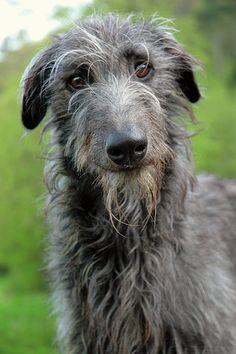 Scottish Deerhound. . . LOVE these :)  My next dog. . . (don't tell brent :)  )