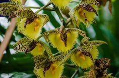 Catasetum Fimbriatum x Catasetum Orchidglade...
