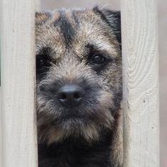 Border Terrier thinking -- I think maybe if I squeeze some I could get to that squirrel -- from Gail Warnick