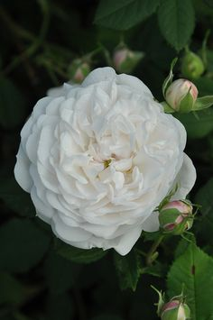 Alba Hybrid Rose: Rosa 'Madame Plantier' AKA 'The Bride's Rose' (France, 1835)