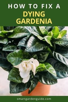 Gardenias are tough to keep happy indoors, so you'll need to be careful to avoid these problems. I show you how to work out why your Gardenia is struggling and give you step by step instructions to revive your plant and help it thrive. Indoor Flowering Plants, Blooming Plants, Smart Garden, Soil Ph, Gardenias, House Plant Care, Garden Guide, New Growth, Plant Needs