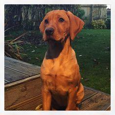 #Vizslador #vizsla #puppy