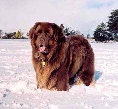 Newfoundlander | Honden-rassen.jouwweb.nl