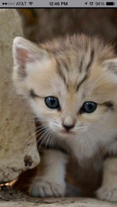 Yet another sand cat kitten
