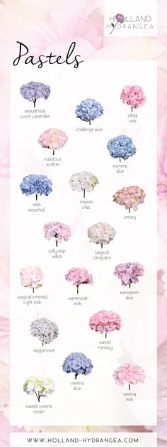 Beautiful Pastels Holland Hydrangea share the beauty of Dutch Hydrangea! www hollandhydrangea com is part of Flowers - Hydrangea Bouquet Wedding, Wedding Bouquets, Wedding Flowers, Hydrangea Garden, Hydrangea Tattoo, Types Of Hydrangeas, Hydrangea Landscaping, Hydrangea Colors, Hydrangea Flower