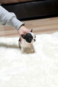 Teacup french bulldog! This isn't a Boston   but it is SO adorable!!!