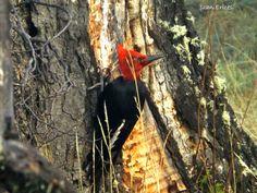 Wild Patagonia  Magellanic woodpecker
