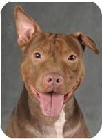 CHICAGO - Conan ID# 10140084: male Pit Bull Terrier, 5-7 years. Rescued from the streets of Chicago, Conan looks forward to his forever home. Loves people, especially their laps. Enjoys toys and walks. Quiet Conan seems good with other dogs. Fill out an application at http://www.illinoisanimalrescueinc.org/adoption-application/view/form.html or call Illinois Animal Rescue at 847-469-7551.