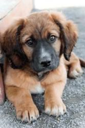 Rochester is an adoptable Leonberger Dog in Fairfax, VA. Only 3 months old and already showing all the great Shepherd traits. Rochester is very smart, curious, playful and fun...fun...fun! This pup is...