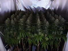 Indoor Grow #munchies Join Us at SmokeWeedEveryday.Org for More Weed Fun!
