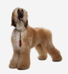Psy rasy Chart Afgański