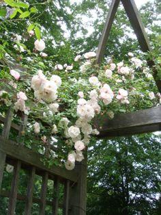 Roses in a trellis. Photo: Camilla Sandén