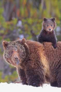 Grizzly Bear and Cub - we saw grizzlies at Yellowstone National Park.