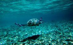 Lataa kuva kilpikonna veden alla, Australia, meri, vedenalainen maailma, suuri kilpikonna