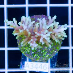 Deep Water Acropora Red Dragon